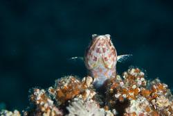 BD-150223-Sharm-6348-Synodus-variegatus-(Lacepède.-1803)-[Variegated-lizardfish].jpg